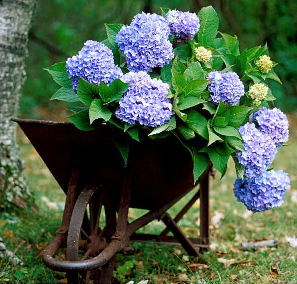 hortensie-blau